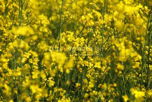 Gelb blüht das Land
