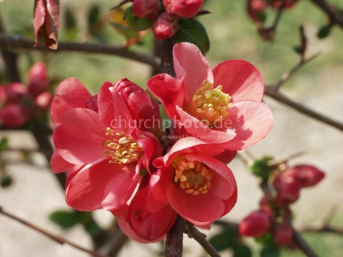 quince japanese