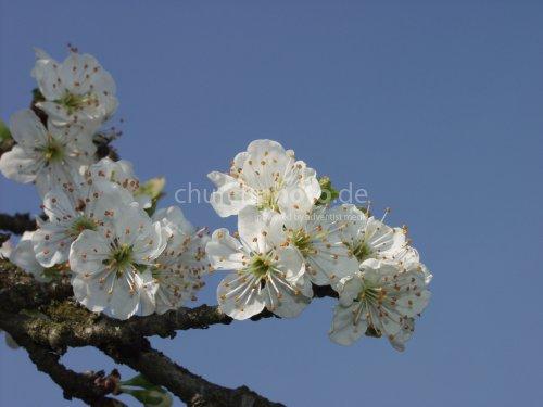prunes flower