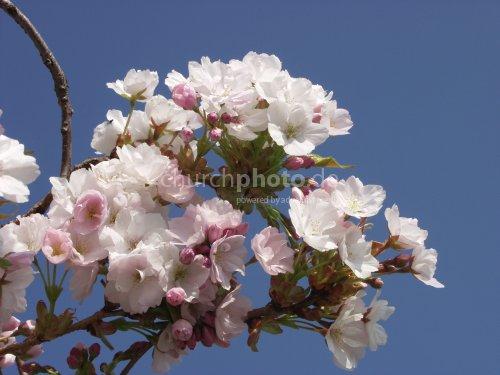 japanese cherry tree flowers