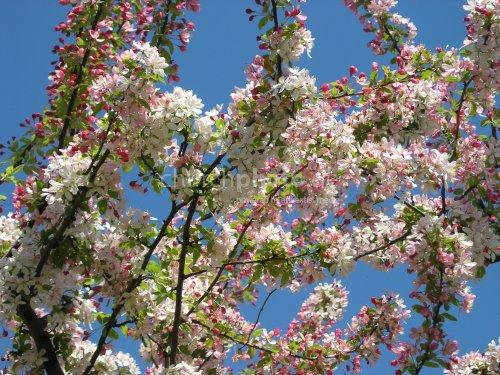 Cherryflowers