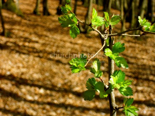 Young burgeoning tree