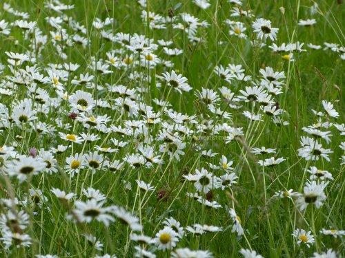 Margerite-oxeye daisy