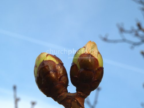 buds in spring