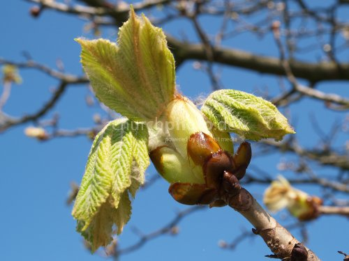 Buds in Spring