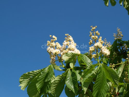 Chestnut blooming