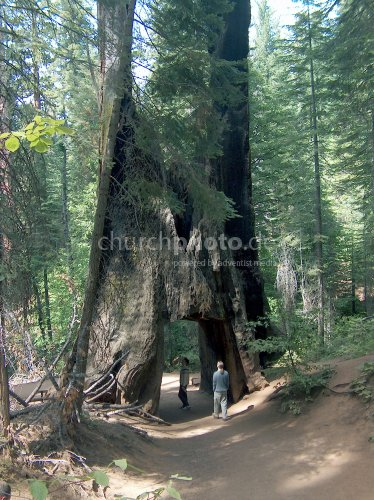 Sequoiandendron Giganteum