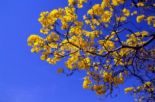 Ipe Amarello