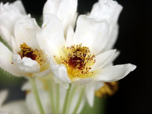 Blüte einer Zimmerlinde