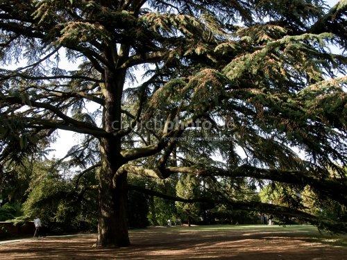 Biggest Cedar