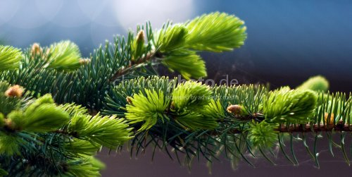 Pine green spider web