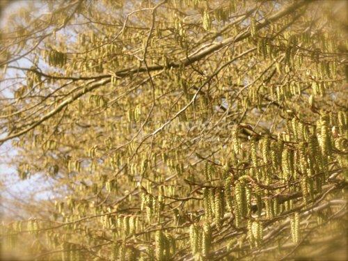 Hazel tree pattern background