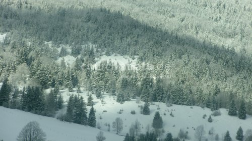 Forest of fir trees under the snow