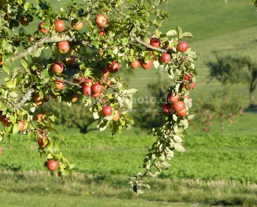Apfelbaum-apple tree