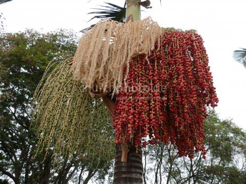 Dattelpalme mit Blüten und Früchte