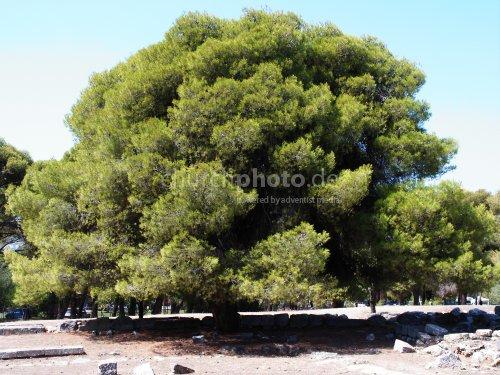 Baum in Epidaurus (GR)