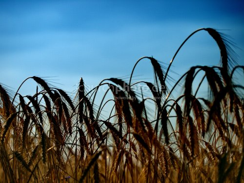 Harvest coming