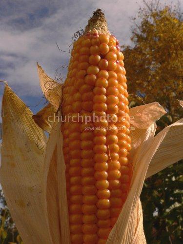 Golden corncob