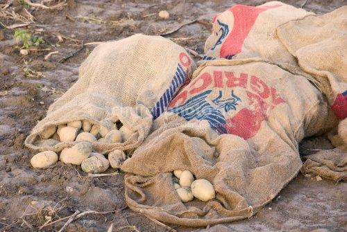 Kartoffelsack auf Feld