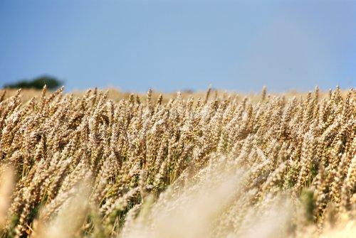 Getreideduft liegt in der Luft