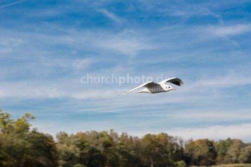 The flying gull