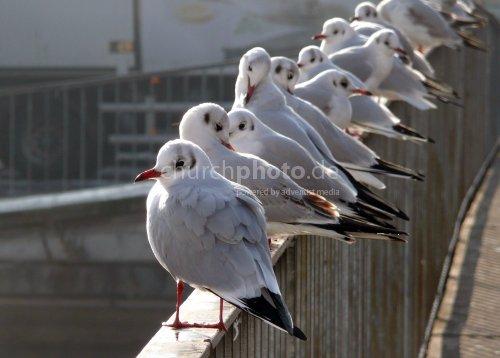 Möwen, Seagulls