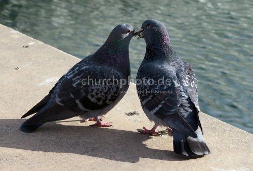 Verliebte Tauben