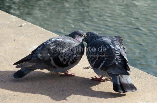Küssende Tauben