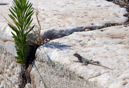 Lizard in Laodicea