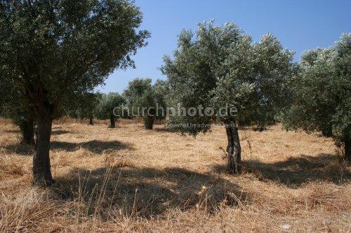 Olivetrees in Milet
