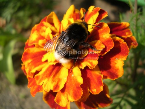 Biene auf Tagetes