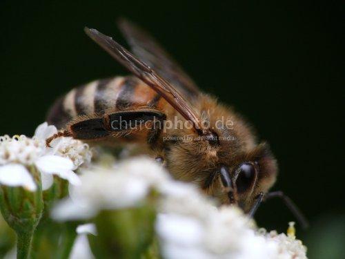 Honigbiene - honey bee