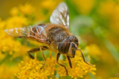 Honigbienen-Makro