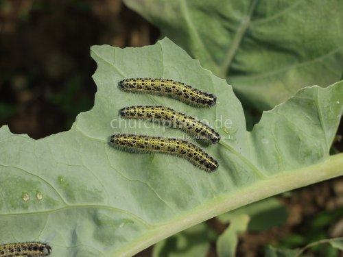 cabbagge butterfly caterpillar