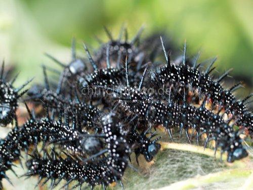 Inachis Io Caterpillar