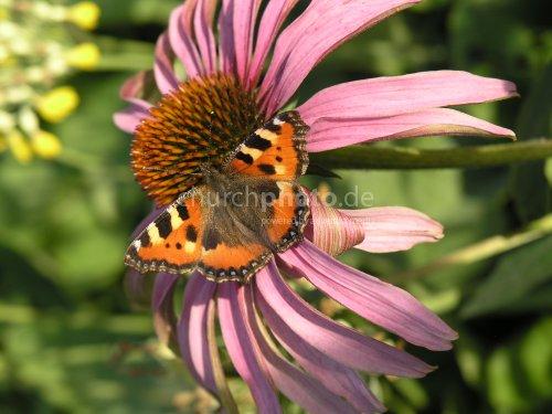 Aglais urticae on flower