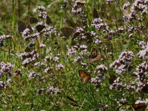 Schmetterlinge-butterfly