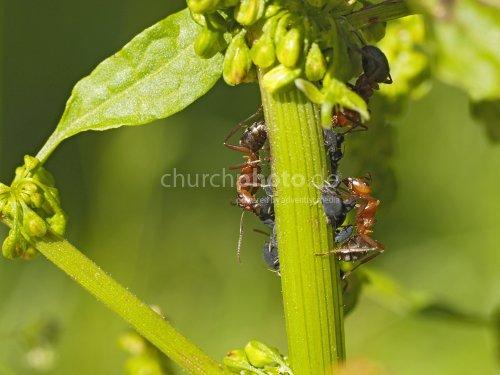 Ameisen melken Blattlaeuse