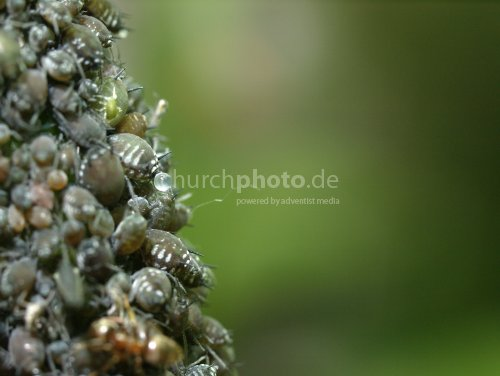 Ants milking aphids 2