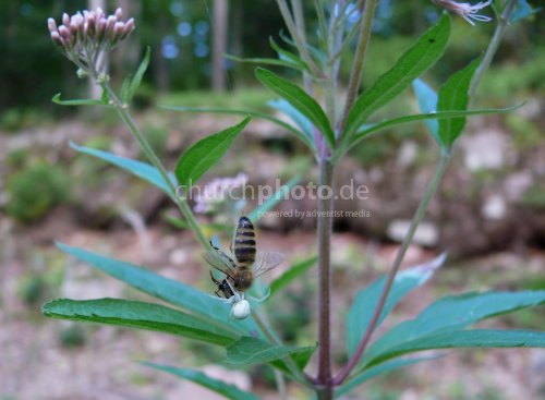 Krabbenspinner mit Biene - Spider with bee