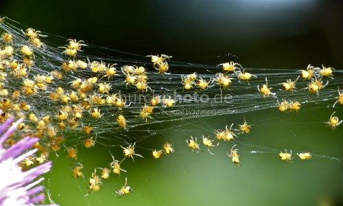 Junge Spinnen