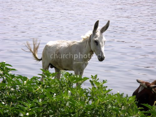Esel am Nil