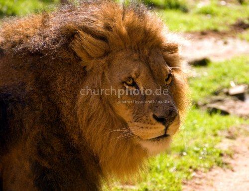 Löwenkopf im Gegenlicht