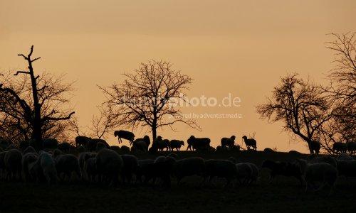 Schafe bei Sonnenuntergang