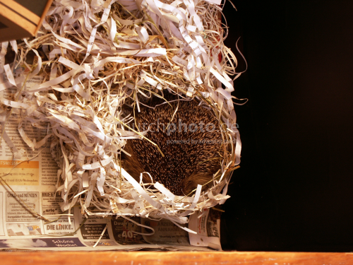 Igel im Nest