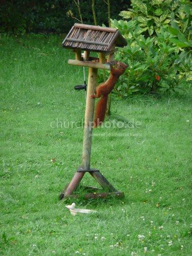 Eichhörnchen auf Wohnungssuche