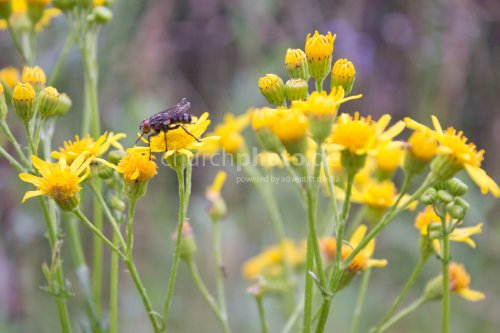Yellow flowers 02 with fly