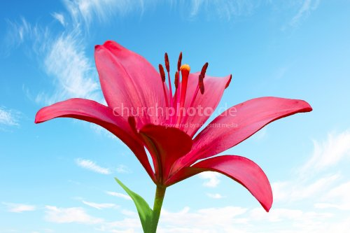 One scarlet fire lily against blue sky with clouds