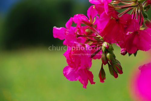 Extrem rosa
