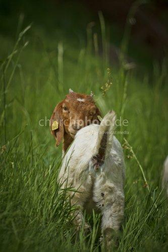 Die Ziege